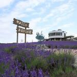 Hinode lavender garden