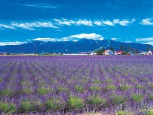 Farm Tomita, lavender east