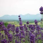 Lavender owner's garden